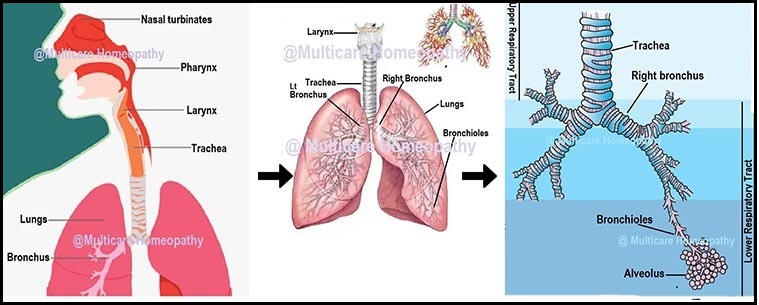 6 Best Homeopathic Medicines for ASTHMA Treatment