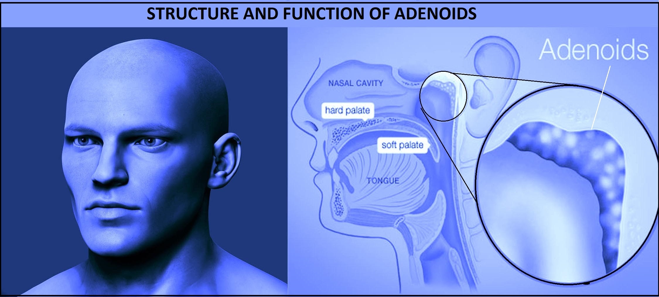 structure and function of adenoids